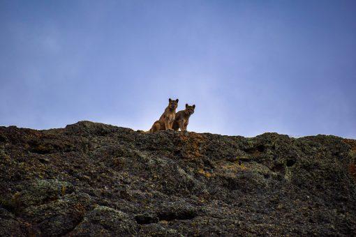Pareja de Pumas en Torres del Paine