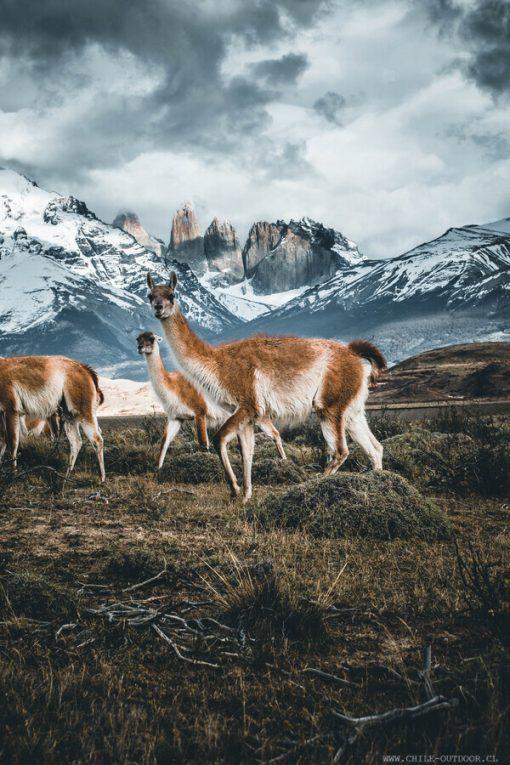 Guanaco en Torres del Paine