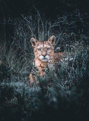 Mostrar al puma en su hábitat natural en Torres del Paine.